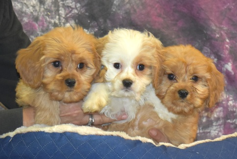 Available Puppies for sale in NH